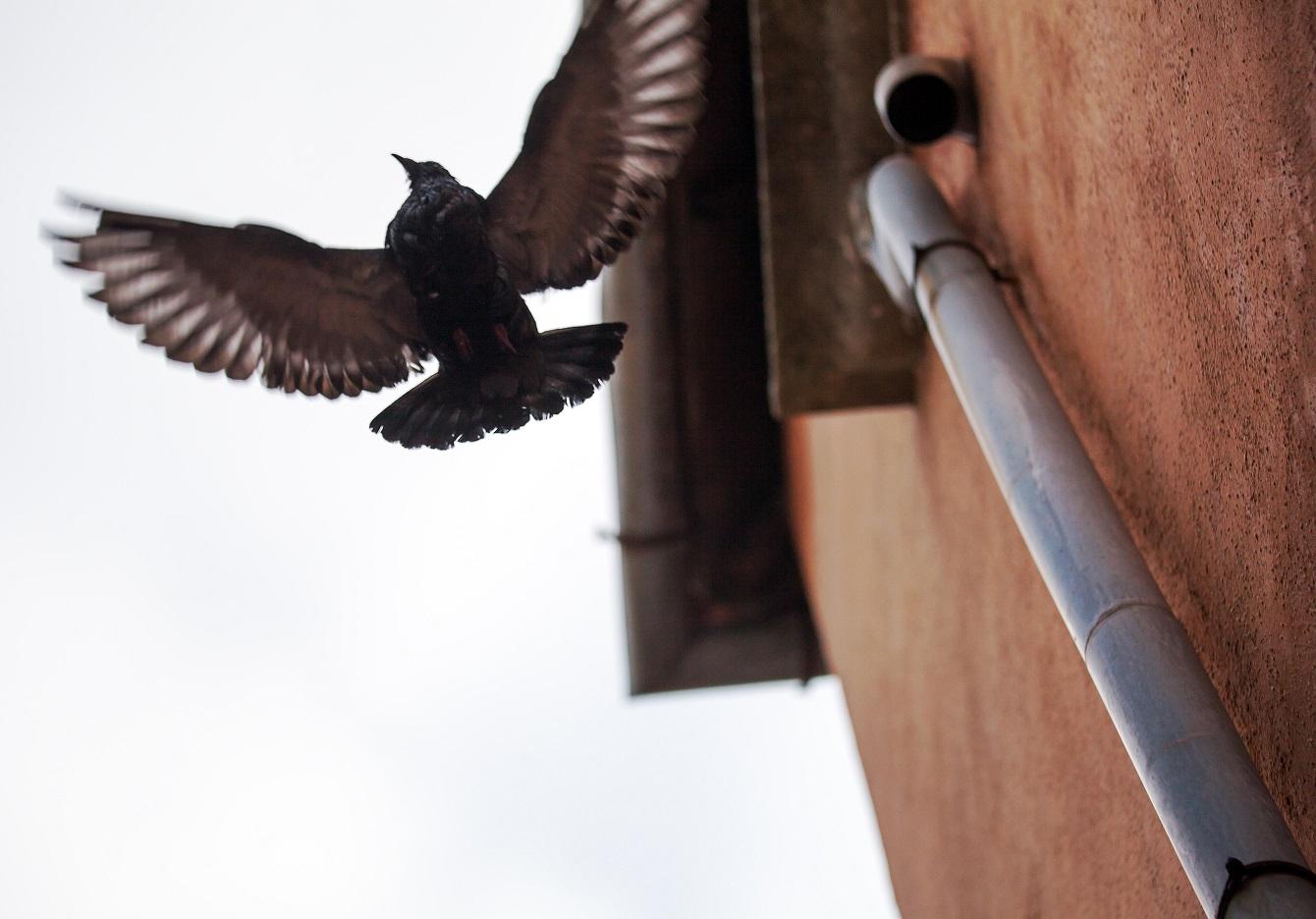 Jak przegonić gołębie z parapetu, balkonu, dachu, elewacji czy ogrodu?